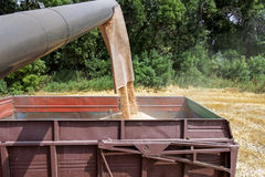 Combine harvester load wheat in the tractor trailer Stock Image
