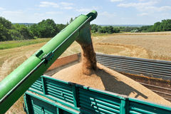 Combine harvester load wheat in the truck Royalty Free Stock Image
