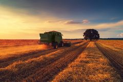 Combine harvester machine working in a wheat field at sunset. Lonely tree stock photo