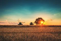 Combine harvester machine working in a wheat field at sunset. Lonely tree stock photos