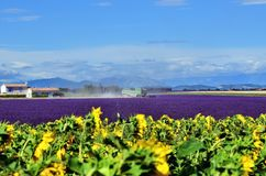 Provence landscape, France. Combine Harvester mowers crop in the lavender fields. Sunflowers on foreground. Classical Provence landscape Royalty Free Stock Photos