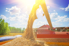 Combine harvester pouring corns of wheat after harvesting Stock Photography
