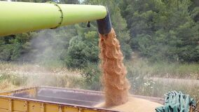 Combine harvester pouring harvested Wheat Grains into tractor trailer.