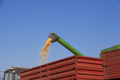 Combine harvester pours corn maize seeds. In to tractor trailer Stock Images