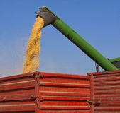 Combine harvester pours corn maize seeds. Unloading corn maize seeds in to trailer Royalty Free Stock Image
