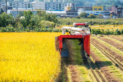 Combine harvester in rice field during harvest time. Royalty Free Stock Images