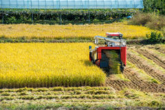 Combine harvester in rice field during harvest time. Stock Photo