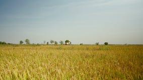 Combine harvester ,rice field, harvesting rice, rice crop stock video footage