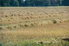 Combine harvester in Schleswig Holstein stock photography