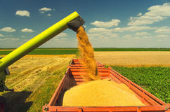 Combine harvester unloads wheat grain Stock Images