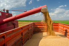 Combine harvester unloads wheat grain Stock Photo
