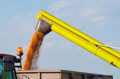 Combine harvester unloads wheat grain into trailer Royalty Free Stock Photo