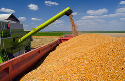 Combine harvester unloads wheat grain into trailer Stock Image