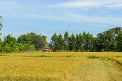 Combine harvester Working on rice field. Harvesting is the process of gathering a ripe crop. From the fields in thailand stock image