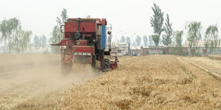 Combine harvesting cereals field, China. Harvesting machine combine working at wheat or rye grain crop field in a traditional way, China Stock Photography