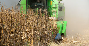 Combine harvesting corn Stock Image