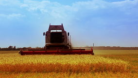 Combine is harvesting golden wheat stock video