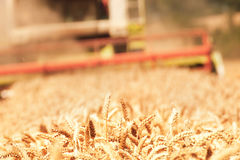 Combine harvesting wheat. Close up of harvested wheat. Combine harvesting wheat Stock Image