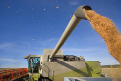 Combine harvesting wheat and filling trailer Royalty Free Stock Photos
