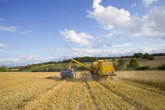 Combine harvesting wheat and filling trailer in sunny rural field Royalty Free Stock Photos