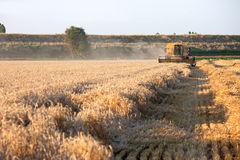 Combine harvesting wheat. Combine harvester on field of wheat at sunset Royalty Free Stock Photos