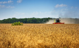 Combine harvesting wheat on sunny summer day. Harvester combine harvesting wheat on sunny summer day Stock Photography