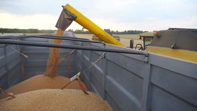 Combine loading wheat grains in truck at evening. Side view on loading process of fresh rye into trailer. Yellow dry stock footage