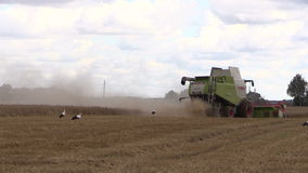 Combine thrash rye field and stork birds look for food stock footage