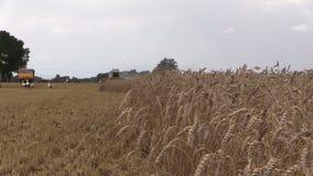 Combine thresher harvest and stork birds fly. Focus change stock video