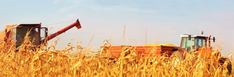 Combine Operator Harvesting Corn on the Field in Sunny Day. The Combine and Tractor  Harvesting the Corn on the Field of Corn on a Sunny Summer Day Royalty Free Stock Image