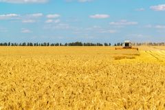 The combine works on Big Field of Ripe Wheat. Russia Royalty Free Stock Images