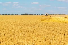 The combine works on Big Field of Ripe Wheat. Russia Stock Image