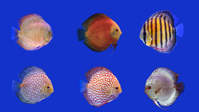 Combined Discus Fish, six kinds of discus fish Royalty Free Stock Images