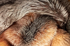 Combined silver and red fox fur background. Combined silver and red fox fur horizontal background Stock Photo