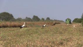 Combineer de gerst en de ooievaarsvogels van de oogst rijpe tarwe stock video