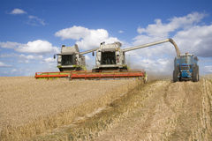 Combines harvesting wheat and filling trailer in sunny, rural field Stock Image