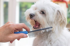 Combing beards of the white dog Stock Photography