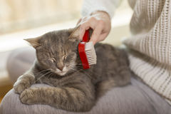Combing a cat Stock Image