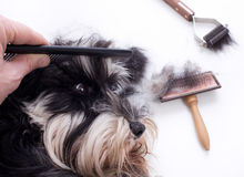 Combing cute dog Royalty Free Stock Photography