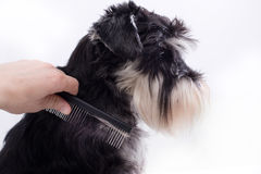 Combing cute dog. Groomer combing long hair of cute dog. Profile of Miniature schnauzer against white background royalty free stock photography