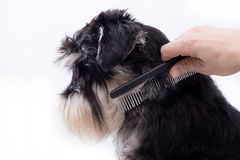 Combing cute dog. Groomer combing long hair of cute dog. Profile of Miniature schnauzer against white background royalty free stock image