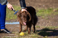Combing the dog. Girl combing the dog using a metal brush Stock Photo
