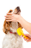 Combing dog breed Russian Spaniel Stock Image