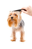 Combing dog breed Yorkshire terrier Stock Photos