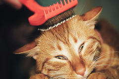 Combing the Ginger Red Cat Royalty Free Stock Image