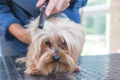 Combing the head of Yorkshire terrier Stock Image