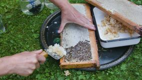 Combing a hive frame. Beekeeper hand combing a hive frame outdoor stock footage