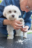 Combing the paw of the adorable white dog Stock Photo