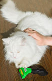Combing white fluffy angora cat Furminator. S royalty free stock photography