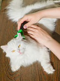 Combing white fluffy angora cat Furminator. S royalty free stock image